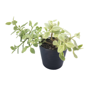 a Variegated Baby Sun Rose in a black pot.