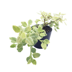a Variegated Baby Sun Rose succulent in a black pot.