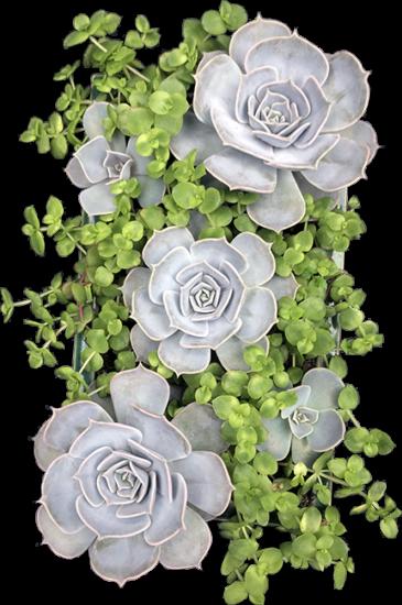 Clouds Hill Succulents Echeveria Lilacina & Crasulla Pellucida decoration