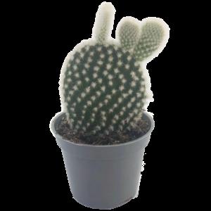 Bunny Ears Cactus in a grey nursery pot