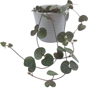 String of Hearts Plant UK