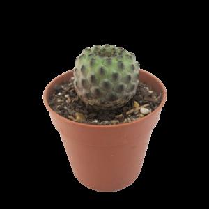 Purple Cactus (Sulcorebutia Rauschii) in a brown nursery pot.