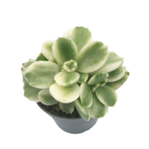 a Bears Paw Cactus plant in a grey nursery pot as seen from above