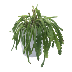 Fishbone Cactus (Epiphyllum Anguliger) in a white nursery pot