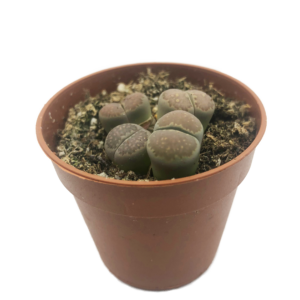 Living Stones (Lithops Aucampiae) in a brown nursery pot