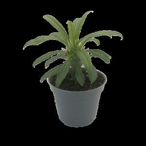 Madagascar Palm (Pachypodium Lamerei) in a 6cm grey nursery pot