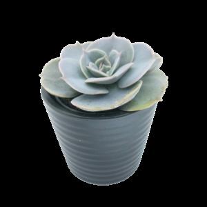 Echeveria Pollux succulent plant in a grey ceramic pot