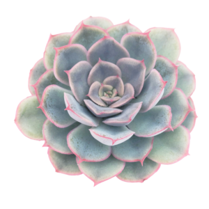Echeveria Shira succulent plant as seen from above