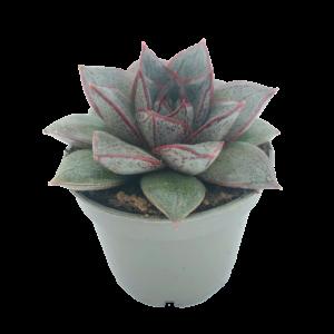 Eceveria Purpusorum succulent in a grey nursery pot