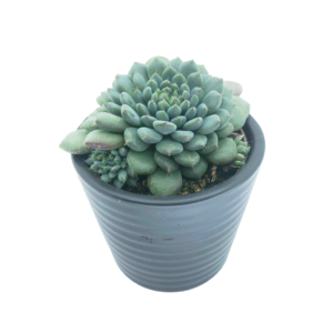 Echeveria Setosa in a grey ceramic pot.