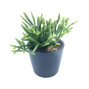 Mistletoe Cactus plant in a grey ceramic pot
