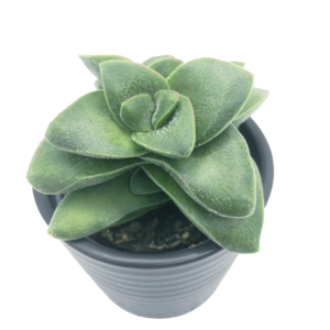 Crassula Springtime plant in a black ceramic pot as seen from above