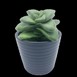 Crassula Springtime plant in a black ceramic pot