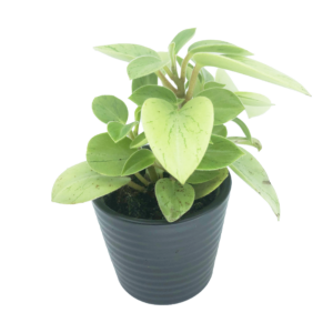 Peperomia Pixie Lime in a black ceramic pot