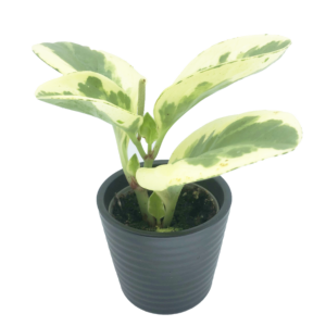 Variegated Baby Rubber plant in a black ceramic pot