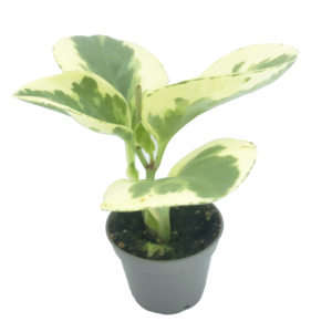 Variegated Baby Rubber plant in a grey nursery pot