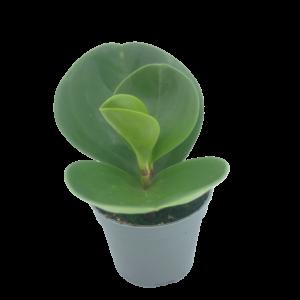 Baby Rubber Plant in a grey nursery pot