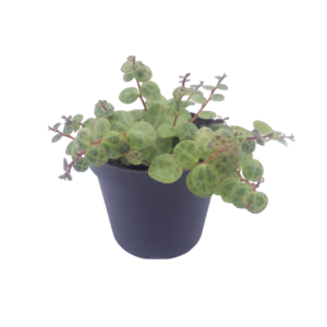 a String of Turtles (Peperomia prostrata) plant in a grey nursery pot