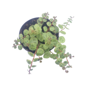 a String of Turtles (Peperomia prostrata) plant in a grey nursery pot as seen from above
